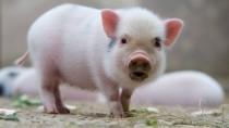 Ein Mini-Schwein in der Mietwohnung finden nicht alle Nachbarn zum Knuddeln.