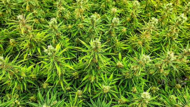 Börse beendet Handel mit Cannabis-Aktien