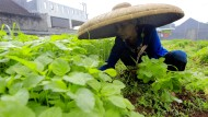 Spinatanbau: Indonesiens Wirtschaft hat noch viel Moderniserungspotential
