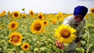BASF will Sonnenblumen mit Gift und Resistenz schützen