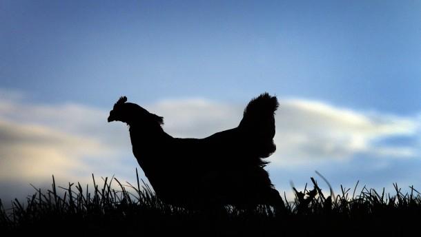 Warum es dieses Jahr kaum Freiland-Eier gibt