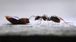 Ameisen gehen zur Toilette