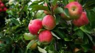 """""""Elstar"""" ist die beliebteste Apfelsorte der Deutschen."""