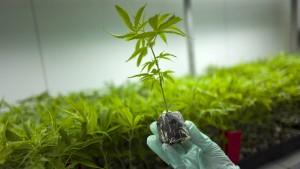 Cannabis-Startup verspricht Rendite von 5 Prozent