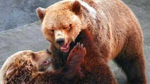 Warum die Kurse fallen, wenn der Bär brüllt
