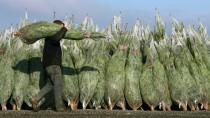 Wer Weihnachtsbäume nicht mehr schleppen will, bestellt sie einfach im Internet.