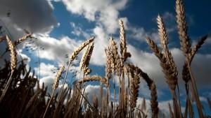 Ernteausfall in den Vereinigten Staaten treibt Weizenpreise