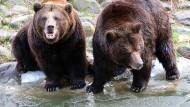 Russische Bären auf Diät