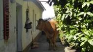 Abstürzende Kuh beschädigt Wohnhaus