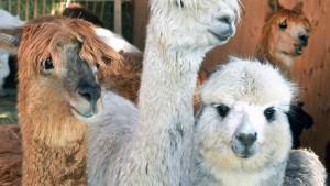 Das neue Steuersparmodell heißt Alpaka