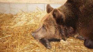 Bärin wurde 22 Jahre lang für einen Bär gehalten