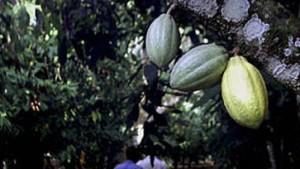 Am Kakao beißen sich Spekulanten oft die Zähne aus