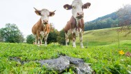 Kaliforniens Kampf um rülpsende Kühe