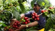 Kaffeebohnen der Sorte Arabica: in Dollar sind sie billiger geworden, in Euro sogar teurer
