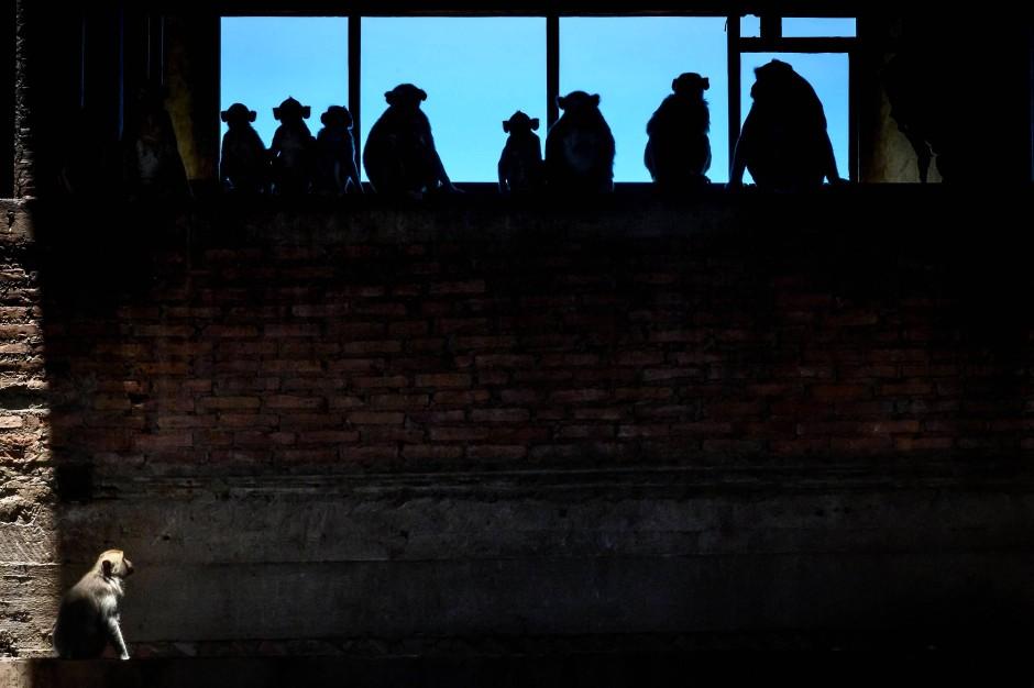 Langschwanzmakaken sitzen in einem verlassenen Gebäude in der Stadt Lopburi.