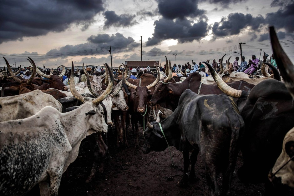 Der Kara-Viehmarkt in Lagos gehört zu den größten seiner Art in Westafrika; jede Woche werden hier tausende Rinder feilgeboten.