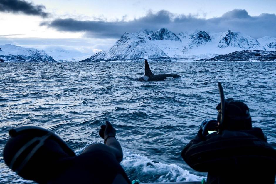 Langsam nähern sich die Taucher einem Orca. Gleich geht's ins Wasser. Dies alles  bei  -10 Grad Luft- und immerhin +3 Grad Wassertemperatur.