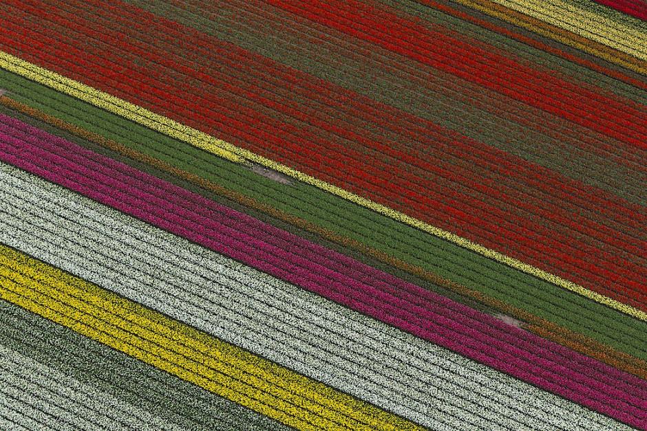 Ein Meer von Tulpen breitet sich auf den Feldern des Keukenhof in Lisse bei Amsterdam aus.