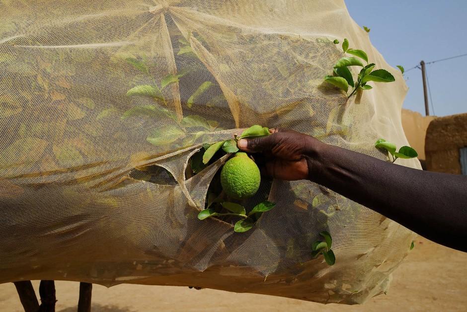 Simbe Gue Soro Ndiouk zeigt am Zitronenbaum die ersten Früchte der Arbeit.