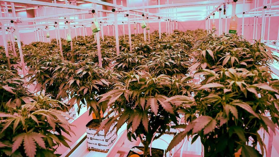 Produktionsanlage für medizinisches Cannabis in Neumünster.