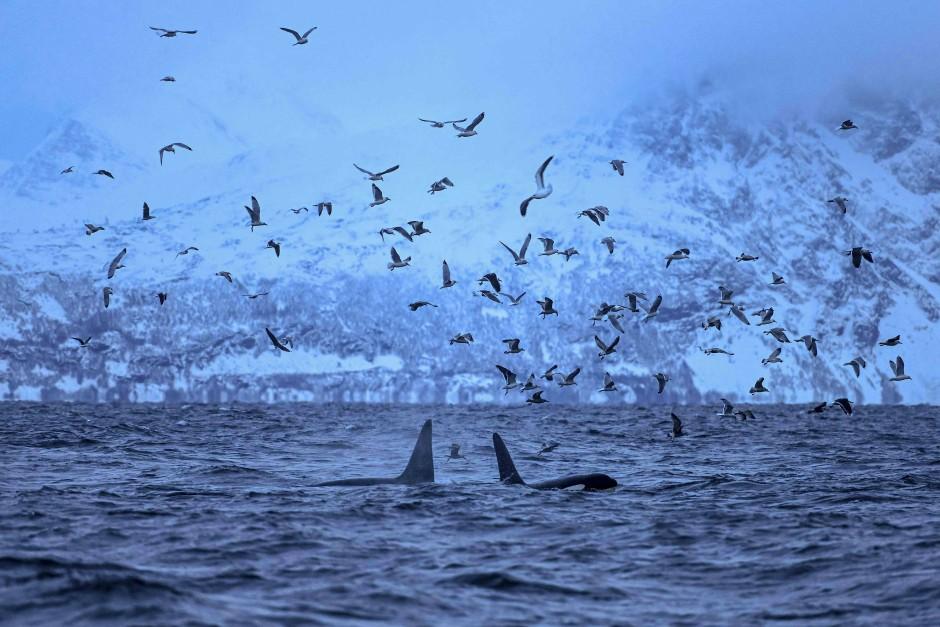 Die charakteristischen Rückenflossen der Schwertwale zeichnen sich im Fjord gut von der Wasseroberfläche ab.