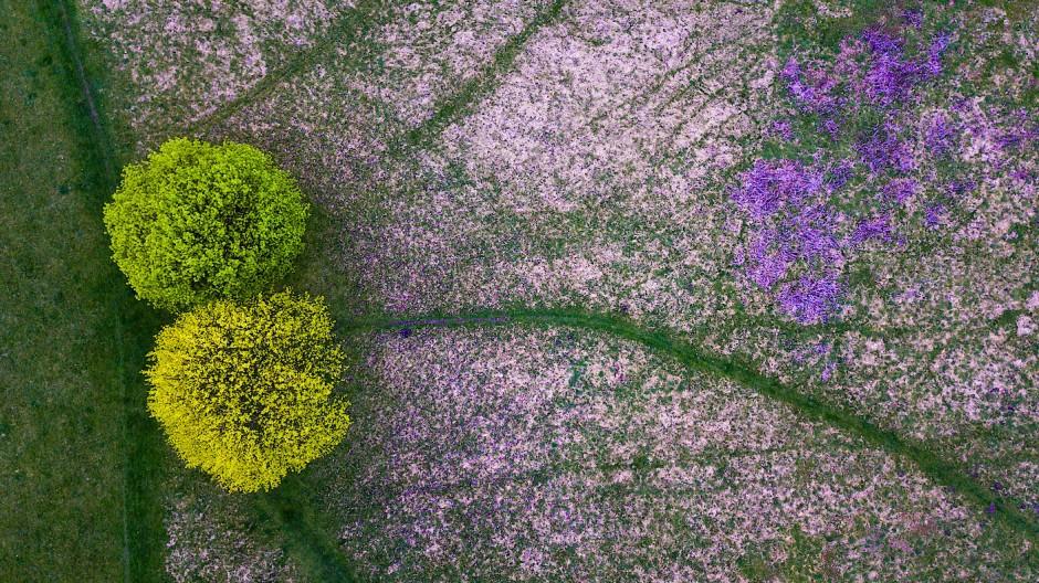 Bei Köln entwickeln zwei Laubbäume ihre grüne Blätterfarbe im Frühling verschieden schnell. Ganz in ihrer Nähe haben sich Leberblümchen breit gemacht.