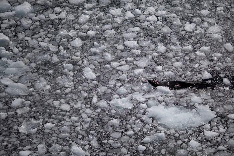 Im Wasser pfeilschnell und elegant. Robbe im Eis vor Quentin Point, Anvers Island.