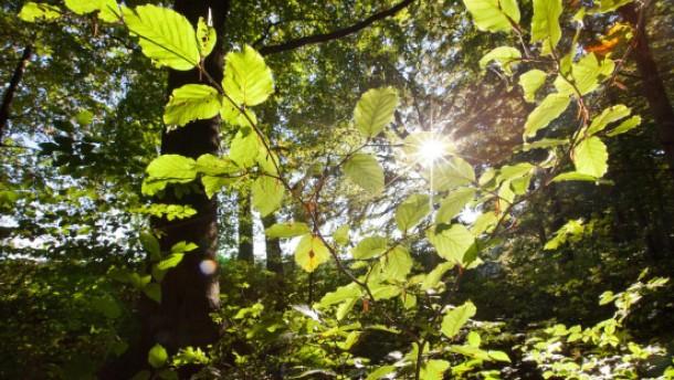 Welterbe-Titel für deutsche Buchenwälder