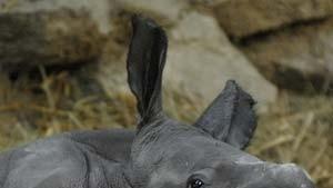Nashornbaby aus der Retorte