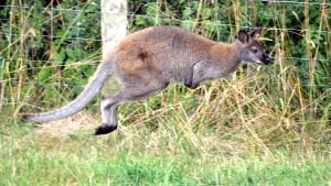 Ein Känguru hüpft durchs Sauerland