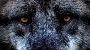 Nachts bei den Wölfen