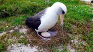Albatros legt mit 66 Jahren ein Ei