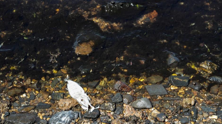 Ein toter Fisch zersetzt sich am Meeresufer. (Symbolbild)