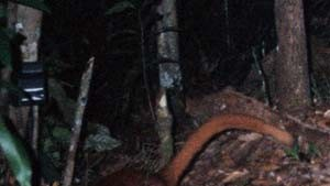 Anscheinend unbekanntes Säugetier auf Borneo entdeckt