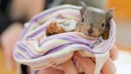 """Hilfsbedürftige Eichhörnchen sind Menschen gegenüber nicht scheu. """"Sie kommen nur zum Menschen, wenn sie wirklich Hilfe brauchen"""", sagt  Kerstin Kaden. Dann liefen die Tiere Spaziergängern hinterher oder kletterten an ihnen hoch. Andere Eichhörnchen würden nach Forst- oder Gartenarbeiten von Hunden am Boden entdeckt. Meist haben die Babys keine Mutter mehr."""