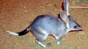 Oster-Bilby statt Oster-Bunny