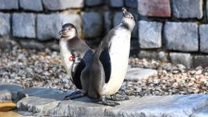 Pinguin in Mannheim wohl von Raubtier getötet