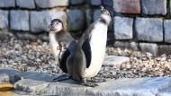 Humboldt-Pinguine stehen am Mitte Februar im Mannheimer Luisenpark in ihrem Gehege. Von dort war wenige Tage zuvor ein Pinguin verschwunden.