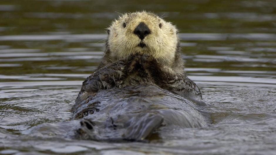 Hält sich auch ohne Fettschicht warm: der Seeotter