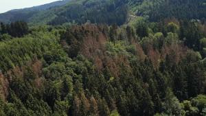 Wie die Wälder unter dem Borkenkäfern leiden