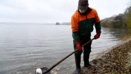 Ein Mitarbeiter des Bauhofes sammelt am Dienstag am Ufer des Großen Plöner Sees in Schleswig-Holstein eine tote Ente ein.