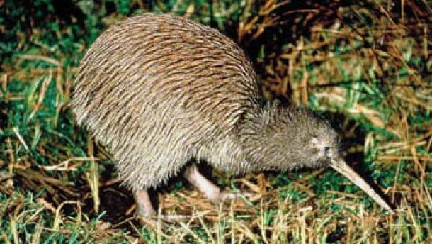 Tiere neuseeländischer nationalvogel vom aussterben bedroht