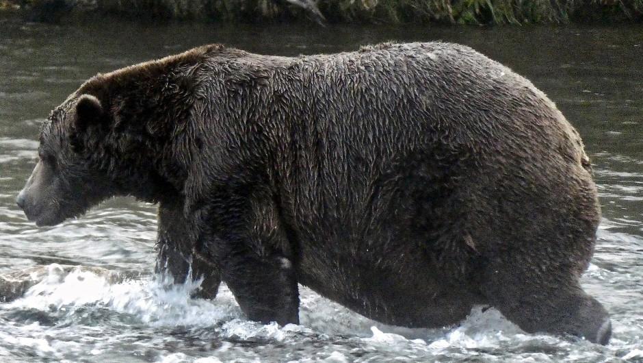 """Prächtiges Bauchfett: """"Chunk"""" präsentiert die Winterreserven beim Lachsfangen im Katmai-Nationalpark in Alaska."""
