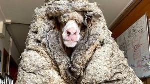 Verfilztes Schaf von mehr als 35 Kilo Wolle befreit