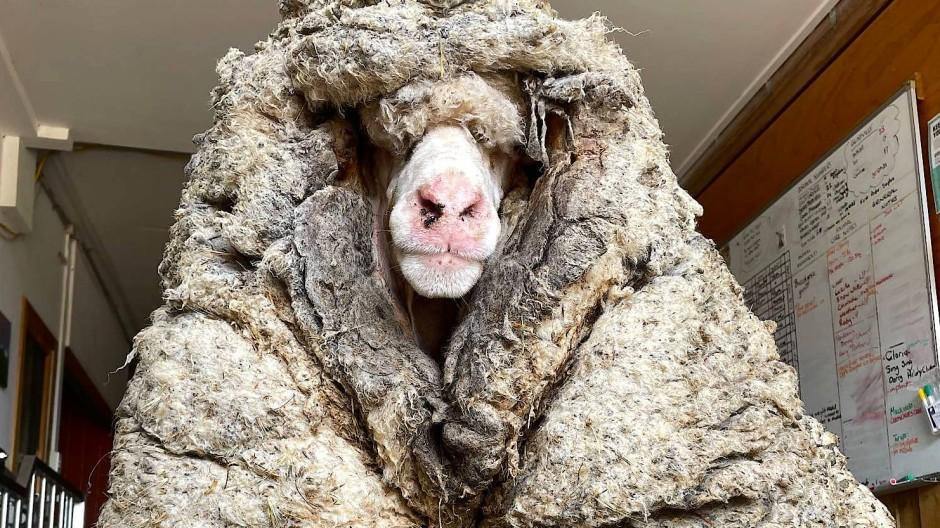 Konnte nicht mehr stehen: Schaf Baarack mit 35 Kilo Wolle auf dem Leib