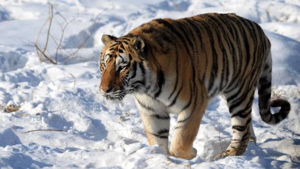 Für die Gäste töten wir einen Tiger