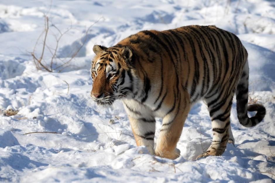 bild zu reiche chinesen t ten tiger zur unterhaltung bild 1 von 1 faz. Black Bedroom Furniture Sets. Home Design Ideas
