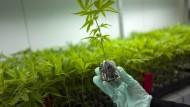 Wenn nichts mehr hilft: eine Plantage für medizinisches Cannabis.