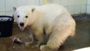Eisbär Knut tötet zehn Karpfen