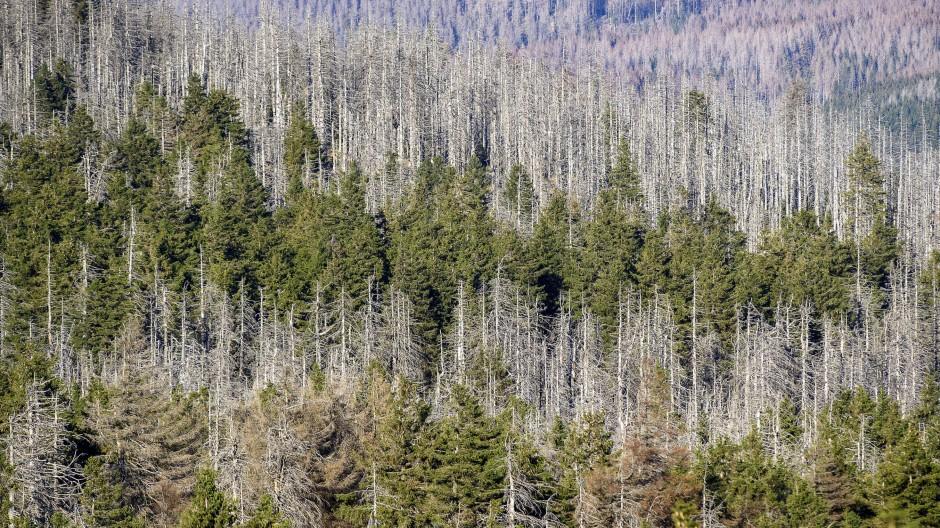 Ein Waldstück mit abgestorbenen Fichten an den Hängen des Brockens in Sachsen-Anhalt.